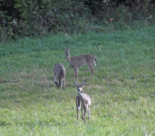 Whitetail deer will have to keep a sharp eye over their shoulders as the hunting season is approaching.