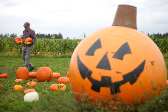 As you harvest your Halloween pumpkins, or when you purchase yours, pick one with a good solid rind, free of blemishes or wounds. Always make sure that at least an inch or two of stem is left attached. If they have no stem, they are more prone to rotting. Paint a face on your pumpkin as early as you want, but avoid carving your pumpkin until a day or two before Halloween. Once they are carved, they deteriorate rapidly.