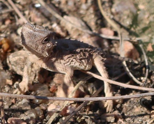 A hatching Texas horned lizard is seen after release.