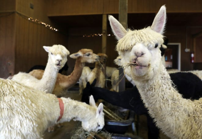 The Alpacas of Spring Acres is home to 91 Suri Alpacas and three llamas. Owner Rebecca Camma is working to transition the farm into a rescue facility so the population will grow throughout the country.