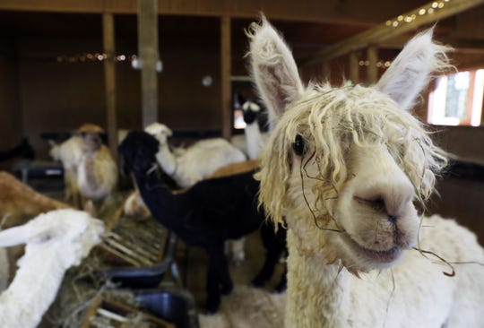 The Alpacas of Spring Acres is the largest  Suri Alpaca farm in the state. Alpacas have a lifespan of about 20 years, and have extremely close relationships with their mothers.