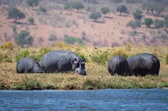 Hippos graze alongside the Chobe River, in Chobe National Park, Kasane, Botswana.