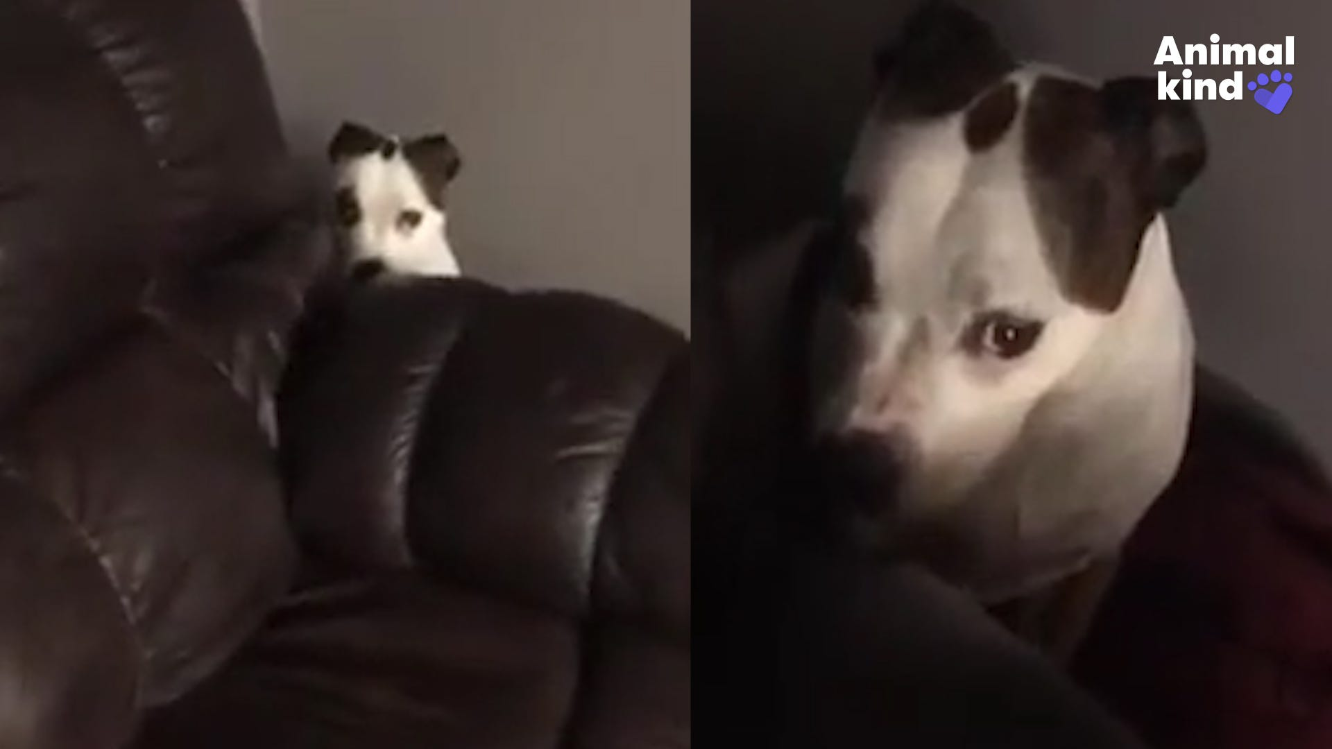 Pit bull looks super guilty after trashing kitchen
