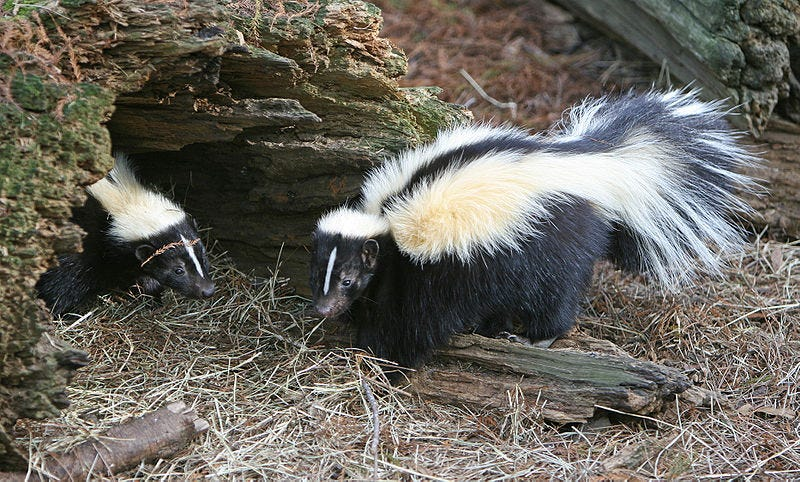 2 more skunks in Oakland County test positive for rabies