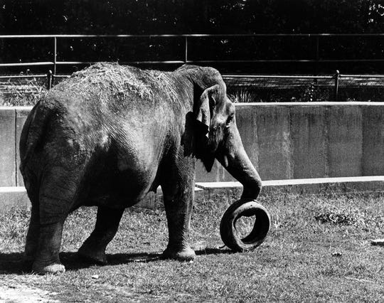 Bunny the elephant plays with a tire Sept. 14, 1984.