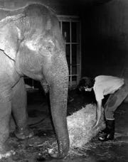 Kerry Seitz feeds Bunny the elephant July 1979.