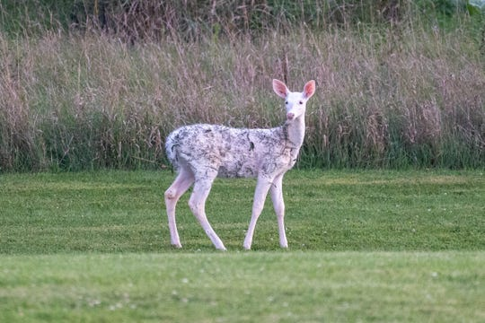 Over the past year or two, white deer have been seen in the Oconomowoc area.