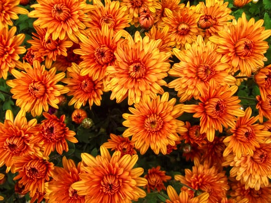 Orange chrysanthemum flowers background