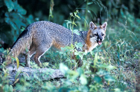 As a wild mammal, the gray fox can carry rabies.