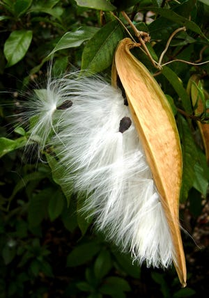 Angle-pod or climbing milkweed is a twining vine.