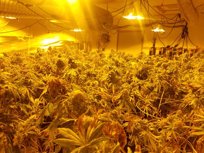 Investigators with WestNET discovered a large number of pot plants at a Saddle Club Road location in Port Orchard as part of an investigation into an illegal marijuana operation.