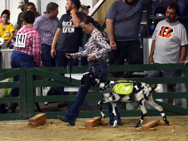 Zanesville's Kendyll Buckner walks her pack goat, Jazz, through the obstacle course at the Coshocton County Junior Fair on Saturday. Jazz was awarded first place in her class.