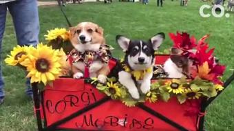 Costumed corgis took to Fort Collins Saturday for the 5th annual Tour de Corgi parade.