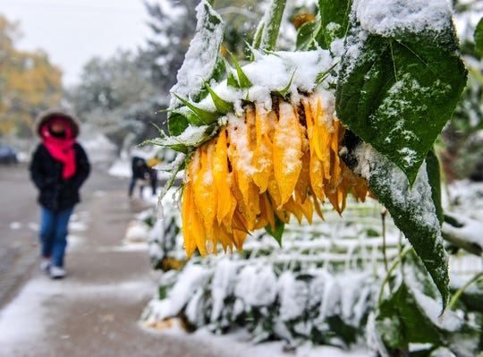 Sunflowers bow and break under the wet snow falling in Great Falls, Mont. on Saturday, Sept. 28, 2019. Great Falls and a few surrounding communities set record-low temperatures Tuesday in the aftermath of the fall winter weather event.