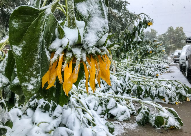 Sunflowers bow and break under the wet snow falling in Great Falls, Mont. on Saturday, Sept. 28, 2019.  The National Weather Service forecast predicted 7 to 15 inches of snow in the Great Falls area during the weekend storm with even larger snow accumulations in higher elevations.