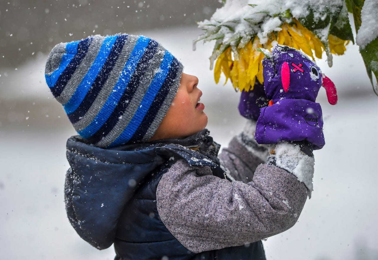 Connor Cruz, age 5, inspects snow laden sunflowers during Saturday's snow storm in Great Falls, Mont.  The National Weather Service forcast called for 7 to 15 inches of snow to fall in the Great Falls area.