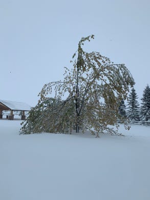 Heavy snow in Great Falls has trees, still carrying leaves, buckling under the weight.