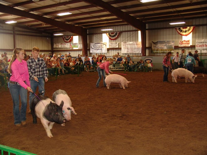 Exhibitors drive their hogs toward the judge during Sunday's Jr. Fair Hog Show in Hunter Arena. In all, approximately 165 hogs were shown.