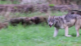 The zoo welcomed 3-year-old female gray wolf Renner in September. She joins 9-year-old male gray wolf Kaskapahtew, whose former mate died in June