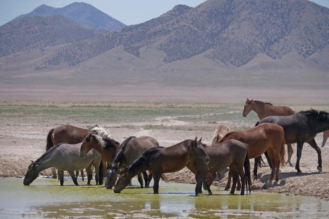 Wild horses drink from a watering hole outside Salt Lake City in 2018.