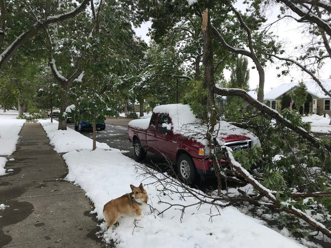 A large tree branch, weighted down by snow, dropped onto 4th Avenue North resident Kari Cann's pickup truck Sunday. Her dog, Jazzi, chewed on the branches. Tree damage along 4th Avenue North was among the most extensive in the city.