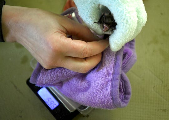 Victoria Campbell, of Wild Things Sanctuary, weighs a bat. Campbell carefully tracks the weight and health of the bats to determine when they can be released into the wild.