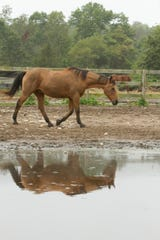 Horses, boarded at the Brighton Recreation Area's Equestrian Center, walk past a large puddle of water Monday, Sept. 30, 2019 in Hamburg Twp. Health Department officials said a horse in the township - not pictured - acquired Eastern Equine Encephalitis earlier this month. The unvaccinated three-year-old Paint gelding had a sudden onset of neurological signs on Sept. 23 and was euthanized.