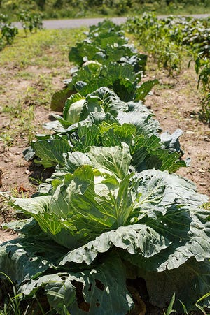 A row of cabbage growing in Lovina's garden. Try the sweet and sour cabbage recipe shared by Lovina in this week's column.