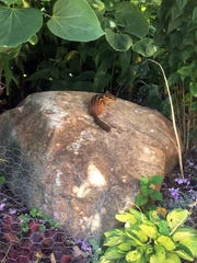 A large boulder from a neighbor is the perfect place for one of our many chipmunks to relax.