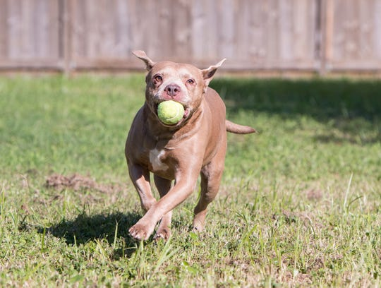 Barkley plays fetch in the backyard of his home with Chrys and Jody Elrod in Pensacola on Monday, Sept. 30, 2019.  Barkley is a pit bull rescued from dog fighting in the Miami area.