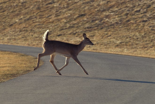 There are a lot of deer movement at this time of year, and part of that movement takes place across roads throughout Missouri. Drivers are urged to keep an eye out in both rural and urban areas.