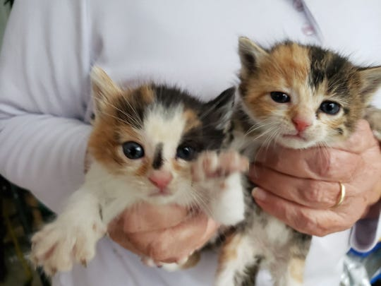 hard to believe that momma cat abandoned these two calico kittens along with their two other siblings.