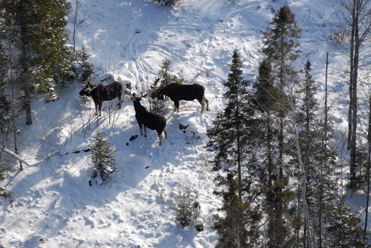 To monitor the herd, the Michigan Department of Natural Resources conducts an aerial moose survey once every other year in the winter when they are easier to see.