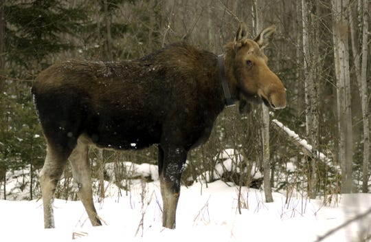 Efforts to restore Michigan's moose herd have been in the works for nearly a century. Approximately 509 moose now call the western Upper Peninsula home.