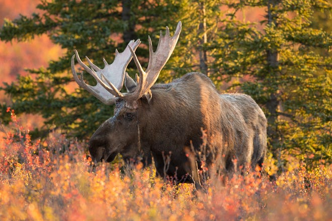 A total of 59 moose were airlifted and then trucked from Ontario to the western Upper Peninsula in the 1980s to restore the animals to Michigan's landscape.