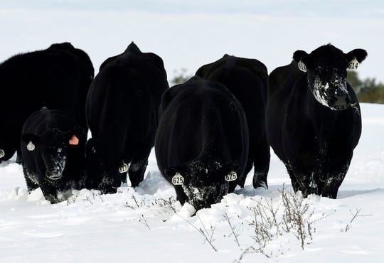 Cattle look for grass under the snow outside Browning, Mont., on Monday, Sept. 30, 2019. (Tom Bauer/The Missoulian via AP)