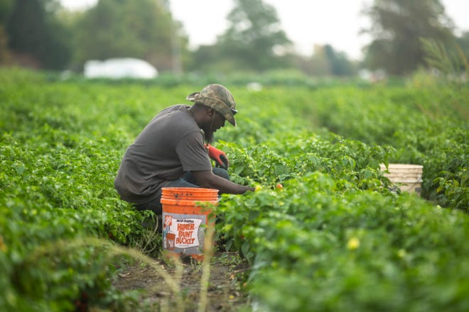 Alfred Matiyabo, of Coralville, harvests ripe habaneros, Tuesday, Oct., 1, 2019, at the Johnson County Historic Poor Farm in Iowa City, Iowa.