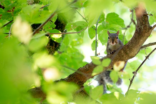 A squirrel looks down from a tree at Ijams Nature Center in Knoxville, Tennessee on Tuesday, October 1, 2019. Last month marked the driest September in Knoxville since record-keeping began in 1871. A normal high for this time of year would be 77 degrees.