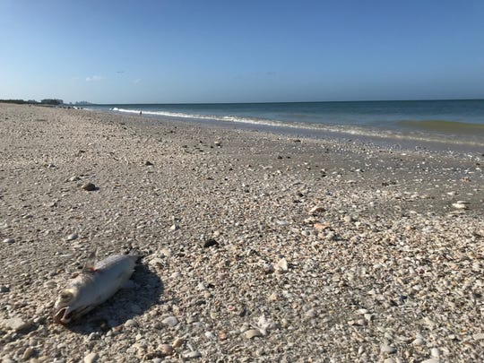 Hundreds of dead fish litter the beach at Barefoot Beach Preserve on Tuesday, Oct. 1, 2019.