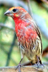 A house finch makes a colorful visitor to a local feeder.