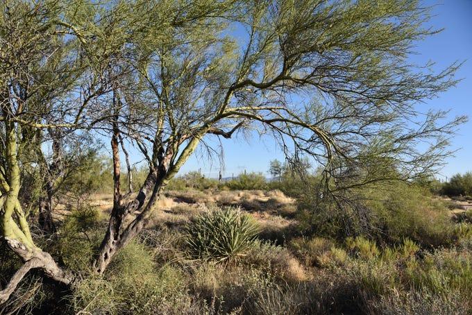 Paloverde trees shade the Latigo Trail in McDowell Sonoran Preserve.