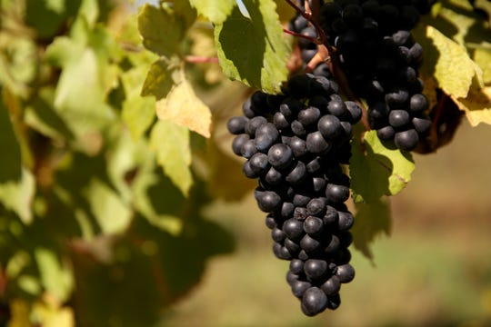 Wine grapes grow at Cristom Vineyards outside Salem on Oct. 1, 2019. Cristom Vineyards was named one of the Top 100 Wineries for 2019 by Wine & Spirits Magazine.