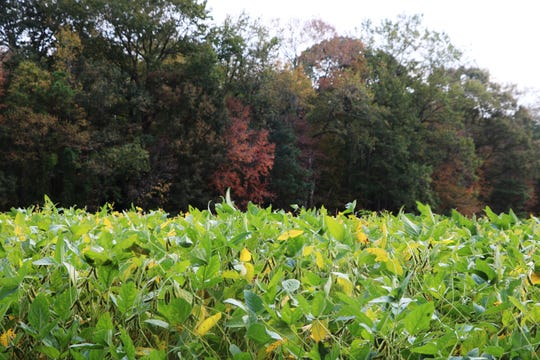 """Soybean plants laden with bean pods turn from green to yellow on farmland belonging to Hebron-area farmer Edmond """"Biff"""" Burns, Monday, Sept. 30, 2019. Burns is embroiled in a neighborhood controversy over a tank he intends to install behind the field of soybeans to store rendered poultry biosolids to be used as a soil amendment."""