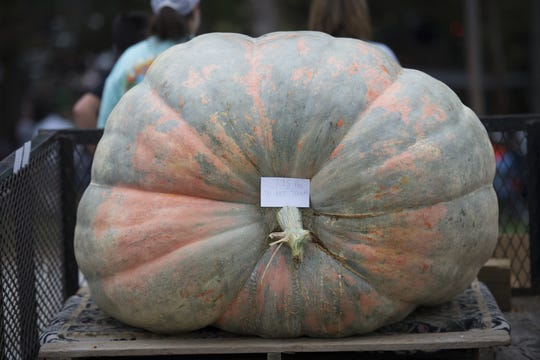A pumpkin weighing 795 pounds sits on a trailer.