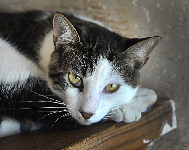 Scuttle is a 2-year-old, gray and white tabby, domestic short hair mix. He is calm, does well with other cats and is available for adoption at the Humane Society of Wichita County.
