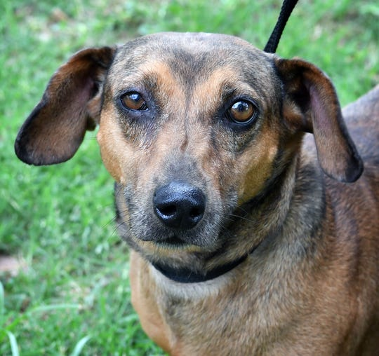 Brandie is a 6-year-old, brown and black, female Dachshund. She is vaccinated, spayed and microchipped. Brandie is sweet, a little shy at first and is available for adoption at the Humane Society of Wichita County.