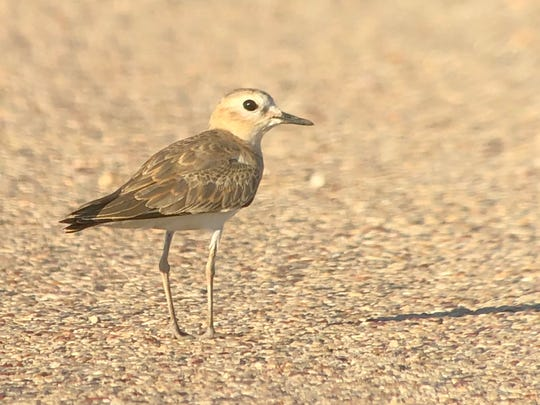 Normally found on short-grass prairies in the western U.S., this first county record of Mountain Plover was happily hunting grasshoppers. Without his camera, Jay held his phone up to his telescope to document the sighting.