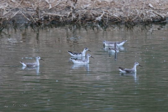 A Red-necked Phalarope (back, center bird) swims with a group of Wilson's Phalaropes at a pond near Trent. This is only the second record ever in Taylor County of this shorebird.