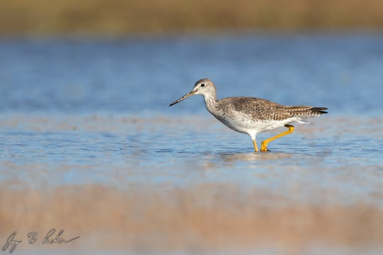 A fairly common shorebird, the Greater Yellowlegs is bigger, with a slightly longer more upturned bill, than the Lesser Yellowlegs.