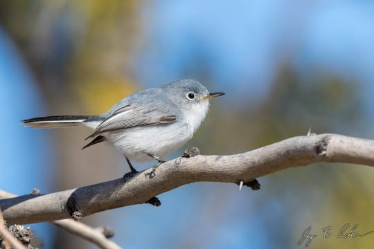 True to their name, the Blue-gray Gnatcatcher is a very tiny songbird that eats small insects and spiders.
